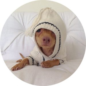 Tuna-Chiweenie-cachorro-01