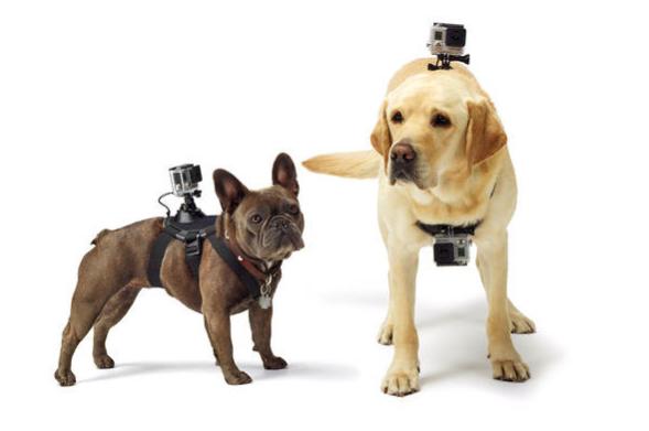 Acessório permite prender até duas câmeras GoPro nos cachorros. (Foto: Divulgação / GoPro)