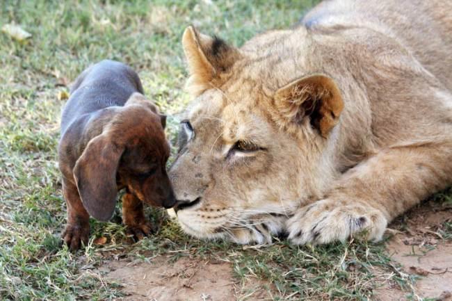 O cachorro Milo e o leão Bonedigger são amigos inseparáveis. (Foto: Reprodução / Metro UK)