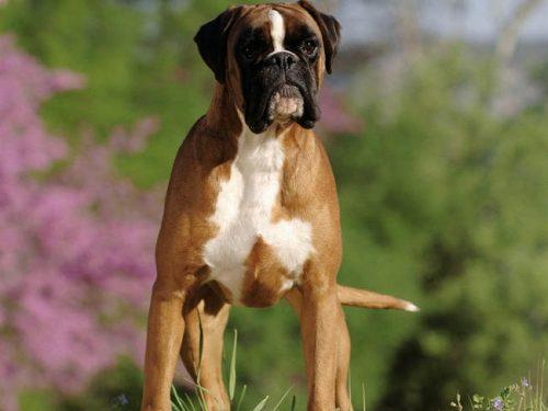 Boxer (Foto: Reprodução / Google)