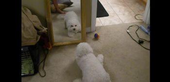 cachorro-enlouquece-espellho-reflexo