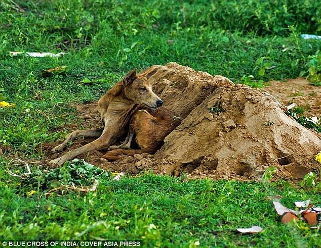 O cachorro Tommy ficou 15 dias ao lado da sepultura de seu tutor. (Foto: Reprodução / Daily Mail UK)