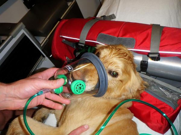 Cachorro sendo socorrido pelos bombeiros, com uma máscara de oxigênio. (Foto: Reprodução / Dogster)