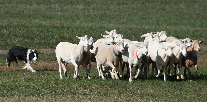 Border Collie pastoreando rebanho de ovelhas. Foto: Reprodução / Google)