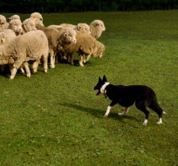 Cães de pastoreio sabem como controlar rebanhos. (Foto: Reprodução / Google)