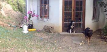 filhote-leao-cachorro-susto-video