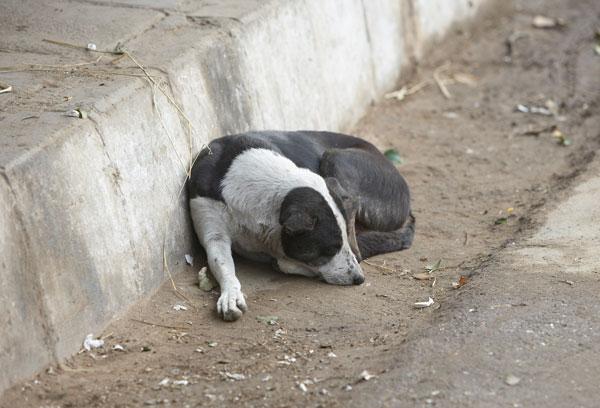Uma estratégia diferente para lidar com a grande quantidade de cães de rua. (Foto: Reprodução / Dogster/ Shutterstock)