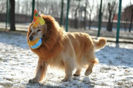 O cachorro fica parecido com o rei da selva. (Foto: Reprodução / Ali Express)