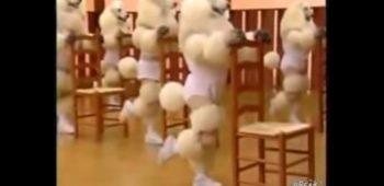 poodles-dancando-cachorros-aerobica