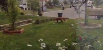 raposa-rouba-brinquedo-cachorro