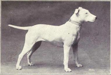 Bull Terrier em 1915. (Foto: Reprodução / The I Love Dogs Site)