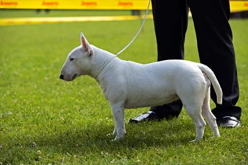 Bull terrier atual. (Foto: Reprodução / The I Love Dogs Site)