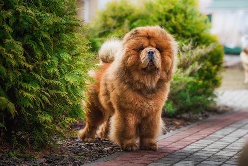 Chow Chow atual. (Foto: Reprodução / The I Love Dogs Site)