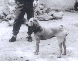 Shar Pei, em 1984.(Foto: Reprodução / The I Love Dogs Site)