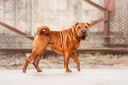 Shar Pei atual. (Foto: Reprodução / The I Love Dogs Site)