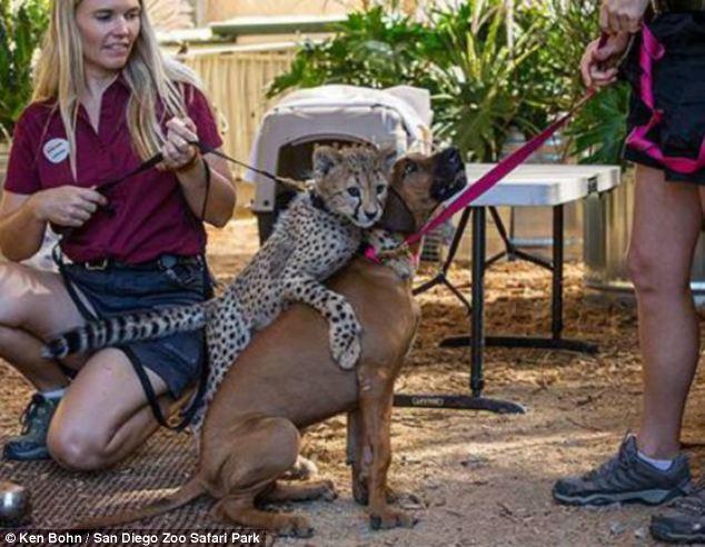 O guepardo e a cachorra são grandes amigos.  (Foto: Reprodução / Daily Mail)