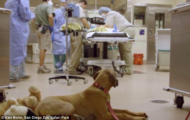 Raina ficou ao lado do guepardo até mesmo durante a cirurgia. (Foto: Reprodução / Daily Mail)