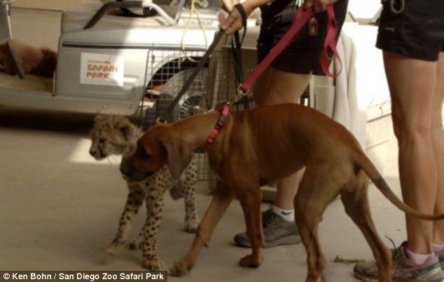 A cachorra Raina acompanhando seu amigo guepardo no veterinário. (Foto: Reprodução / Daily Mail)