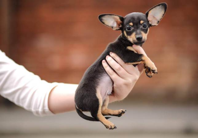 Será necessário esperar o Chip atingir sua idade adulta para confirmar o título de menor cão do mundo. (Foto: Reprodução / Metro UK)
