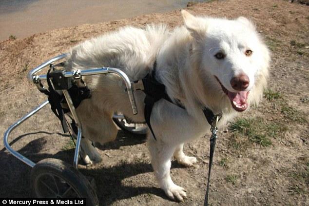O cão Lucky ganhou um lar e uma cadeira de rodas. (Foto: Reprodução / Daily Mail)