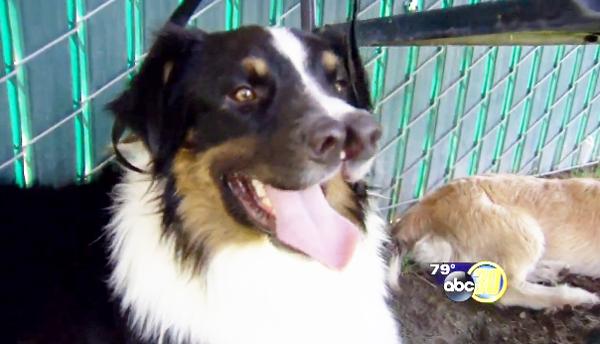 O cachorro Toby tem nariz duplo. (Foto: Reprodução / ABC)
