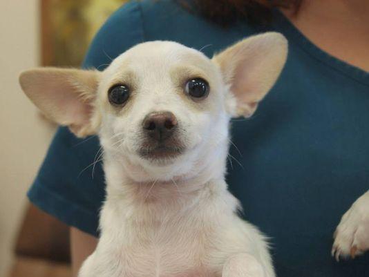 O filhote de Chihuahua chamado Siberia foi roubado em uma feira de adoção. (Foto: Reprodução / 9News)