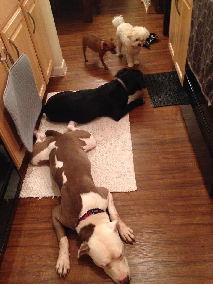 """Os quatro cães juntos: Ares, Zeus, Chanel e Princess. (Foto: Reprodução / Facebook / Ares and Zeus """"The Boys"""")"""