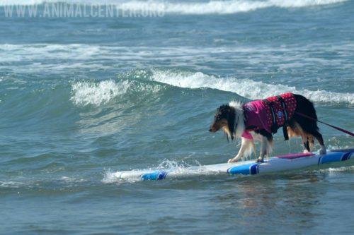 cachorros-competicao-surfe-04