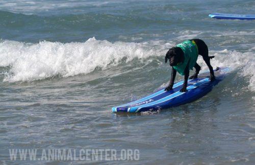 cachorros-competicao-surfe-07