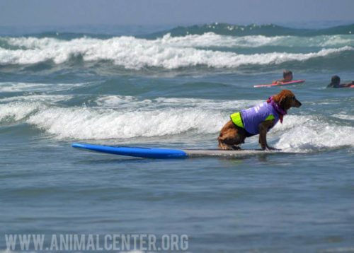 cachorros-competicao-surfe-10