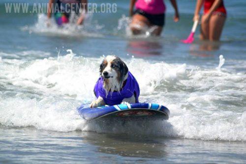 cachorros-competicao-surfe-11