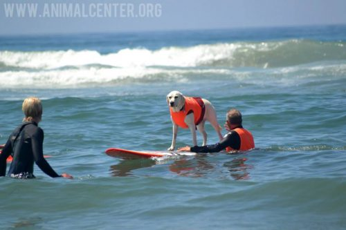 cachorros-competicao-surfe-14