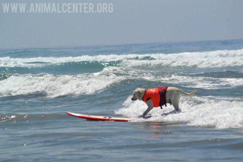 cachorros-competicao-surfe-16