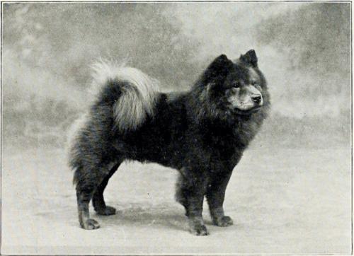 Chow Chow em 1901. (Foto: Reprodução / The I Love Dogs Site)