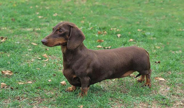 O dachshund é conhecido como salsicha. (Foto: Reprodução / Google)