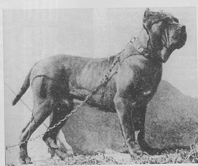 Mastim Napolitano, em 1925. (Foto: Reprodução / The I Love Dogs Site)