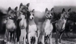 Basenji antigo. (Foto: Reprodução / The I Love Dogs Site)