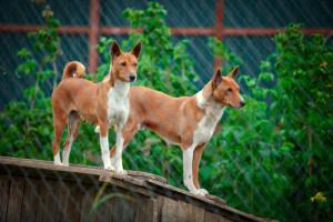 Basenji nos dias atuais. (Foto: Reprodução / The I Love Dogs Site)