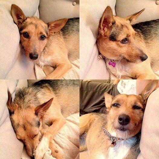 A cachorra Lótus foi resgatada em agosto de 2013. Ela foi encontrada amarrada em um pneu e estava no cio. Além disso, estava chovendo. Apesar de ter sofrido com essa crueldade, é uma cachorro carinhosa. Lótus tem 1 ano e 9 meses e já está castrada e vacinada. (Foto: Reprodução / Facebook / Projeto Vira-Latas com Raça)