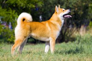 Akita atual. (Foto: Reprodução / The I Love Dogs Site)