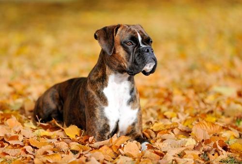 Boxer (Foto: Reprodução / The I Love Dogs Site)