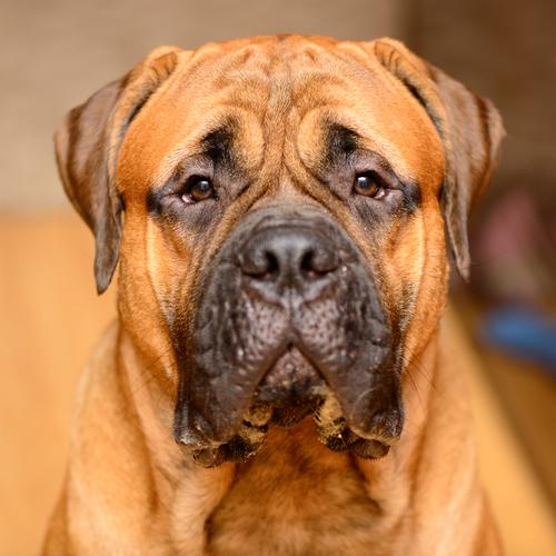 Bulmastife (Foto: Reprodução / The I Love Dogs Site)