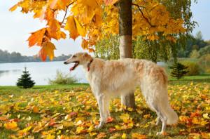 Borzoi atual. (Foto: Reprodução / The I Love Dogs Site)