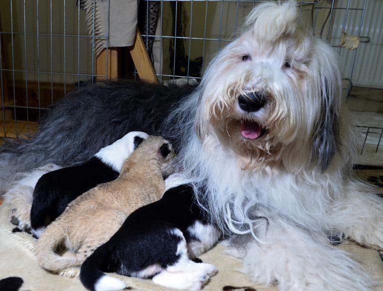 A cachorra Carmen amamentando seus cinco filhotes e um leãozinho. (Foto: Reprodução / Yahoo UK)