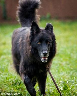 A cachorra Bagheera está esperando para ser adotada. (Foto: Reprodução / Daily Mail UK)