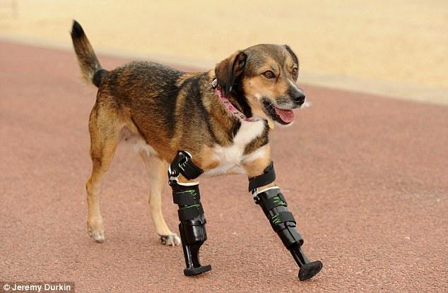 A cachorra Tara conseguiu próteses e teve suas esperanças renovadas. (Foto: Reprodução / Daily Mail UK)