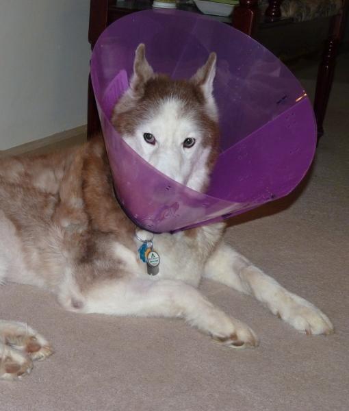 cachorro-cone-criativo-10