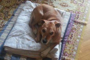 Ebola em cachorros. Excalibur foi eutanasiado após sua tutora ter contraído o vírus. Foto: Reprodução