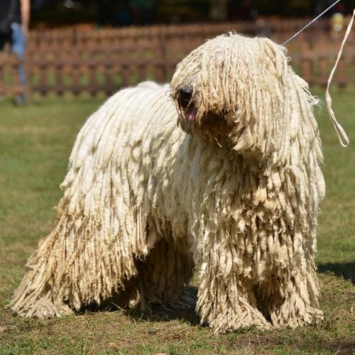 Komondor adulto. (Foto: Reprodução / The I Love Dogs Site)