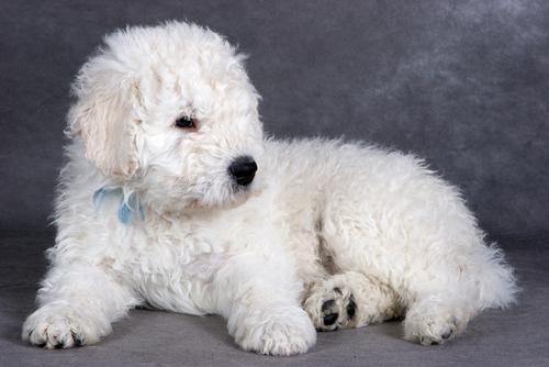 Komondor filhote. (Foto: Reprodução / The I Love Dogs Site)